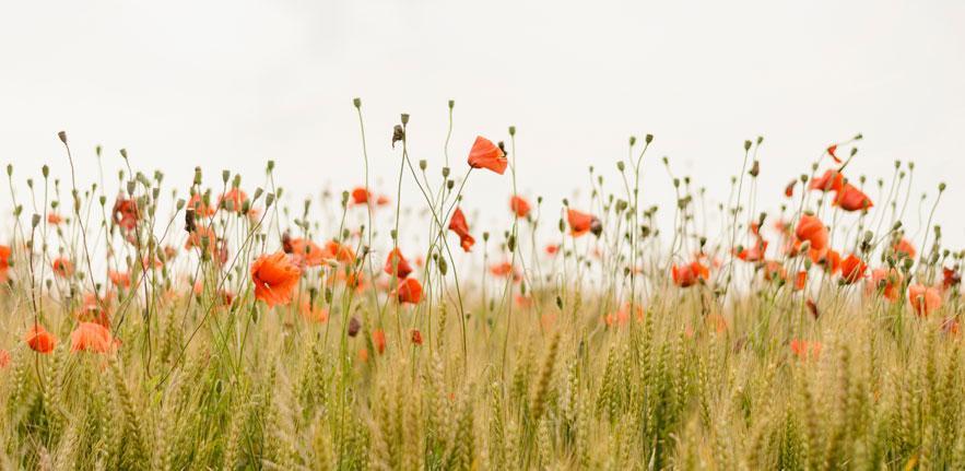 Wheat poppies